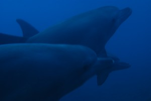 dauphins tursiops